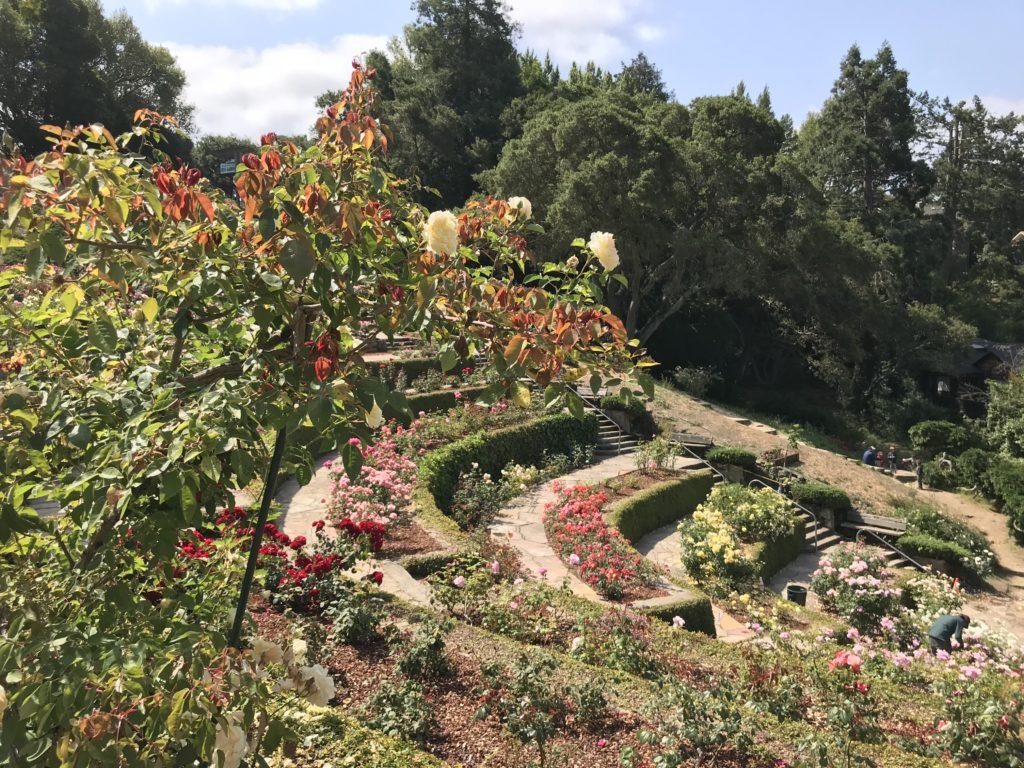 berkeley rose garden june 7 2018 - Berkeley Rose Garden